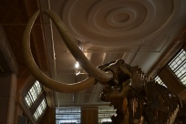 Mammoth bones! It's like a really big elephant with huge horns.