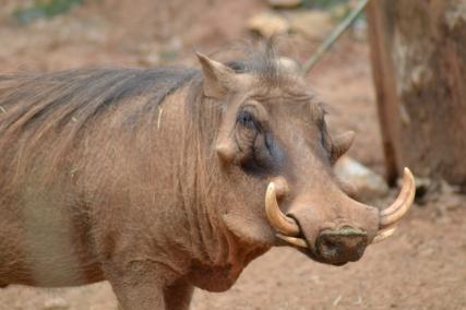 Hakuna matata! It's a Warthog.