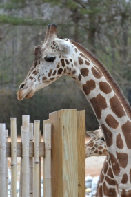 A giraffe's neck can be over 6 feet long! That's taller than my whole body!