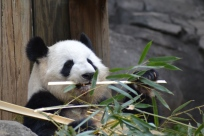 Pandas eat a loooooot of bamboo!