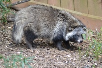 A Racoon Dog or Tanuki. The Tanuki are the only members of the dog family that hibernate in the winter
