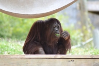 "Orangutan means ""man of the forest"". They are really smart animals."