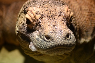 The Komodo dragon is the largest living lizard in the world!