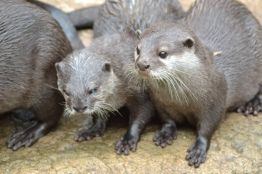 I otter say something clever about otters. Like the fact these otters can live in family groups of up to 12! That's a big dinner table.